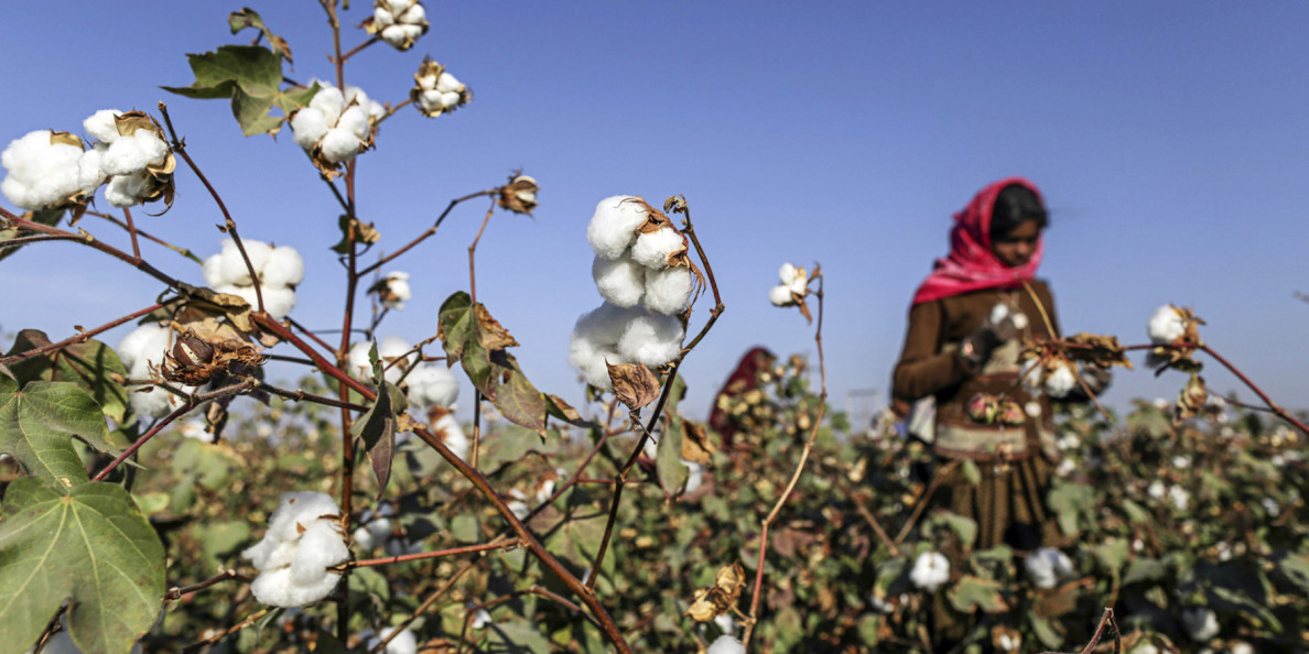 CAI further lowers 2018-19 cotton crop to 315 lakh bales