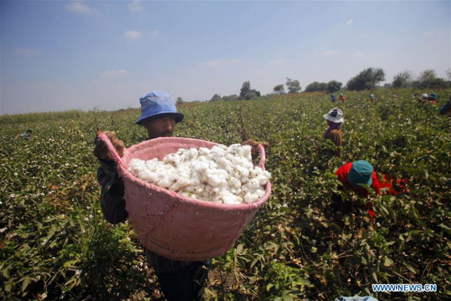 EGYPT: Government failure cause of Egypt's Cotton industry collapse: Farmer Union