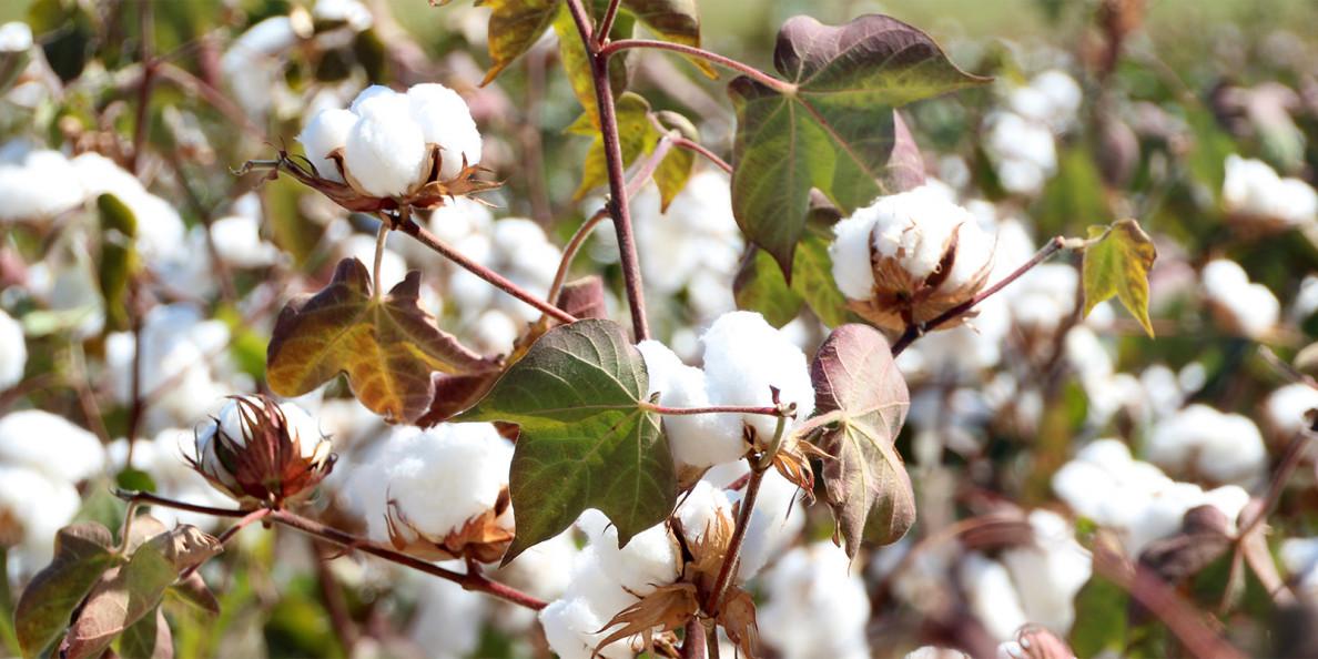 Οι τιμές συσπόρου ενταγμένου στο Cotton+ στη Ροδόπη το 2020/21