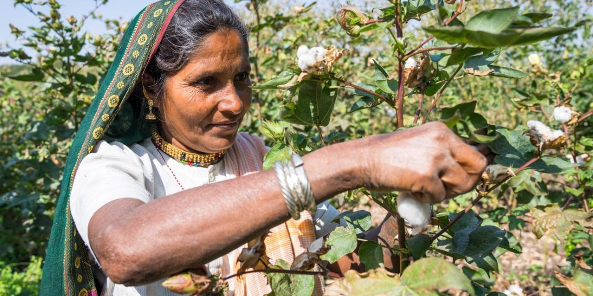 Farmers stay away from cotton, prefer other crops due to better incentives